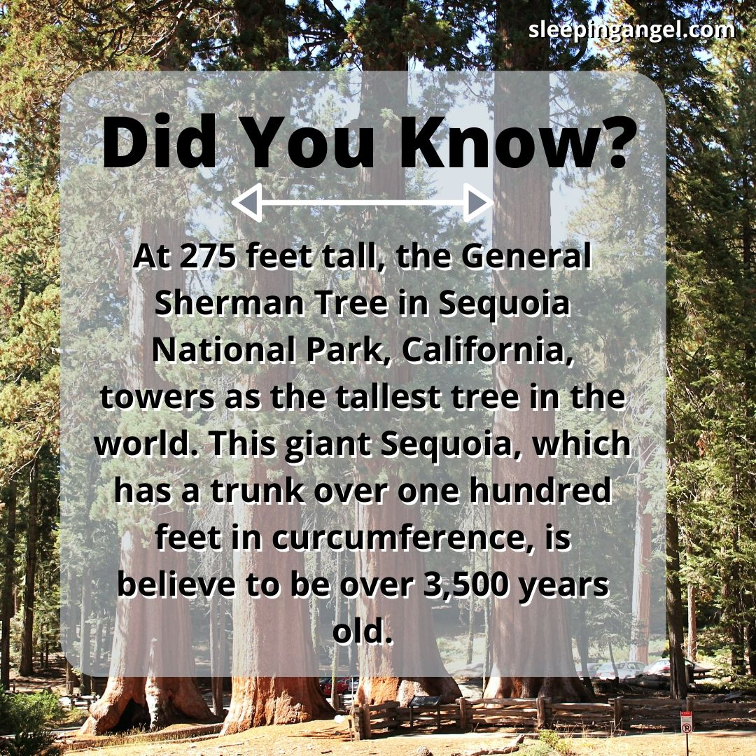 Did You Know? The Tallest Tree