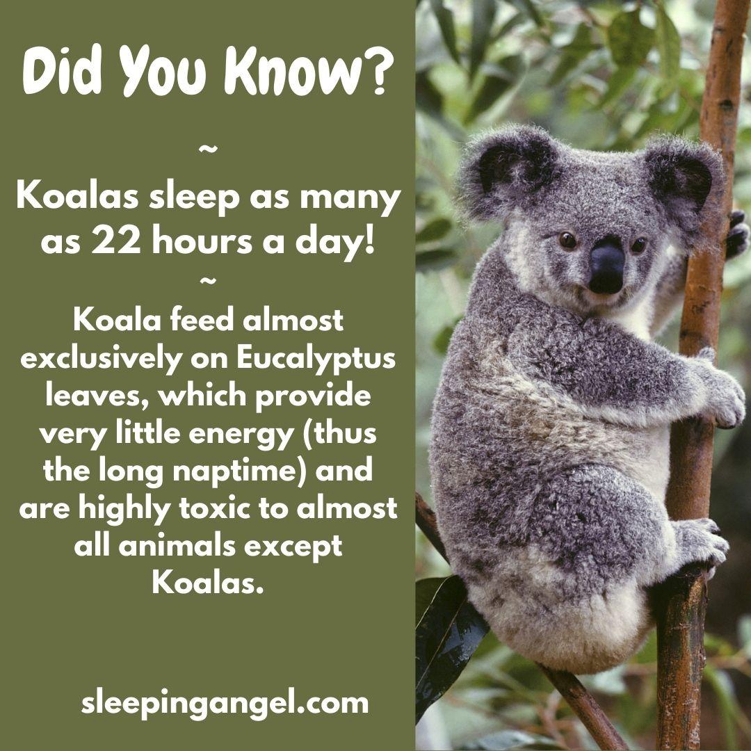 Did You Know? Koalas